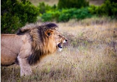 Lionga